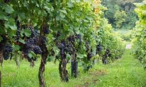coldiretti vitigno700